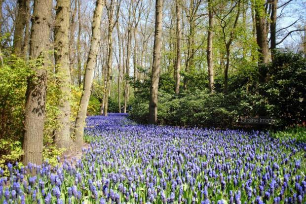 Bulan Maret - Mei saat musim semi, kota-kota di Belanda cantik sekali oleh warna-warni bunga. Ini adalah Hyacinth field di daerah tempat saya tinggal