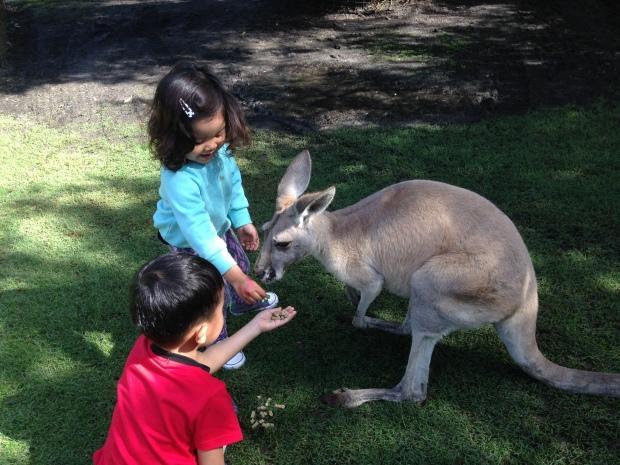 Leia dan sepupunya Kinan di Caversham zoo ada area terbuka bisa langsung pet kangaroo dan kasih makan