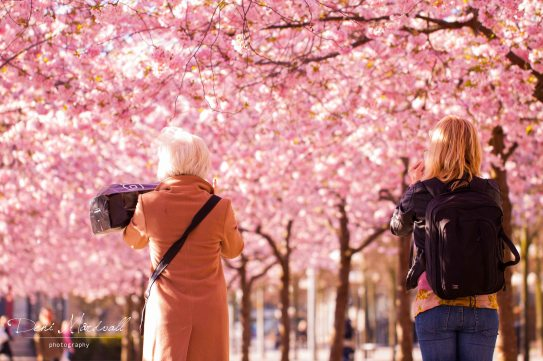 under-the-cherry-blossoms_5