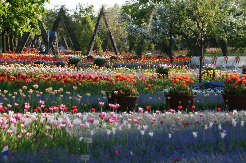 tulipan-03