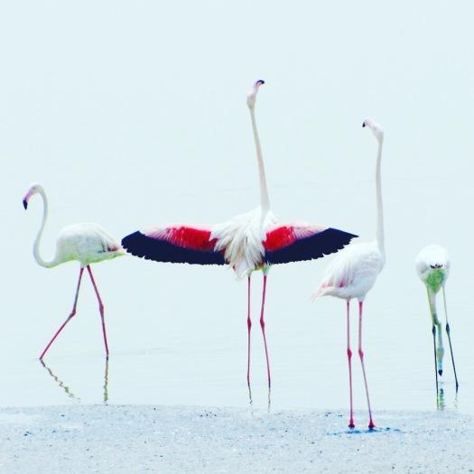 Flamingo Besar
