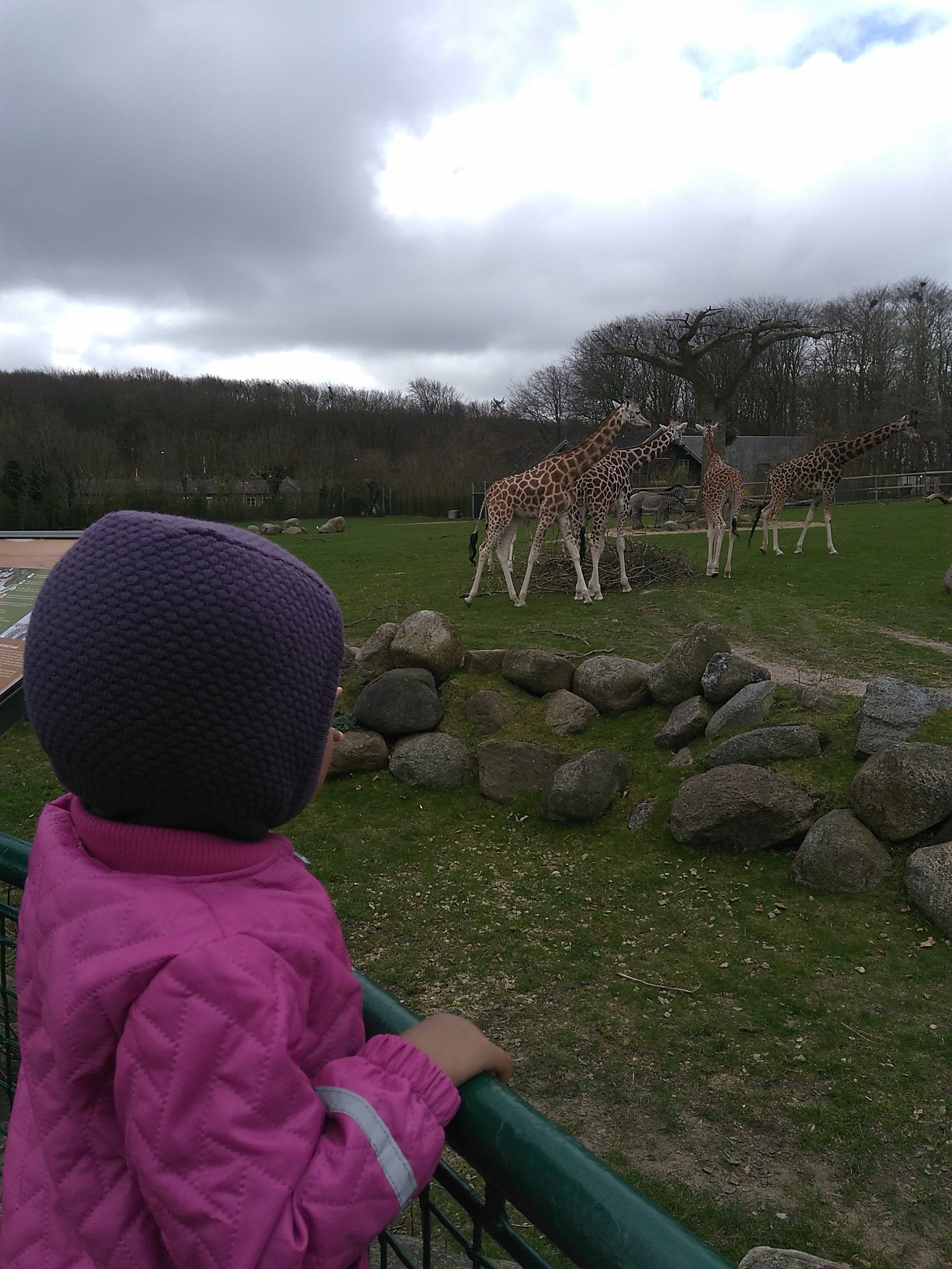 7) Menonton jerapah di Aalborg zoo